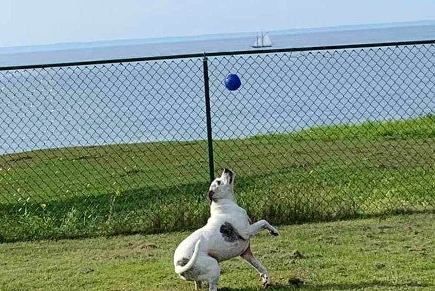Kirsten Kennedy is having a 'pawsome' time with her bulldog, Bubby Tundra. Bubby is playing with a ball in Margaretsville, N.S. while the Bluenose can be seen in the background. Bubby Tundra is 10-and-a-half years old. It's her third white bulldog.