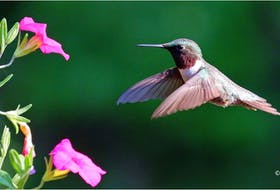 Phil Vogler shot this image of a beautiful hummingbird at a flower in his backyard near Berwick. The colours of the flowers as well as the hummingbird make this a remarkable summer photograph. Thanks, Phil, for sending this photo. It's lovely.