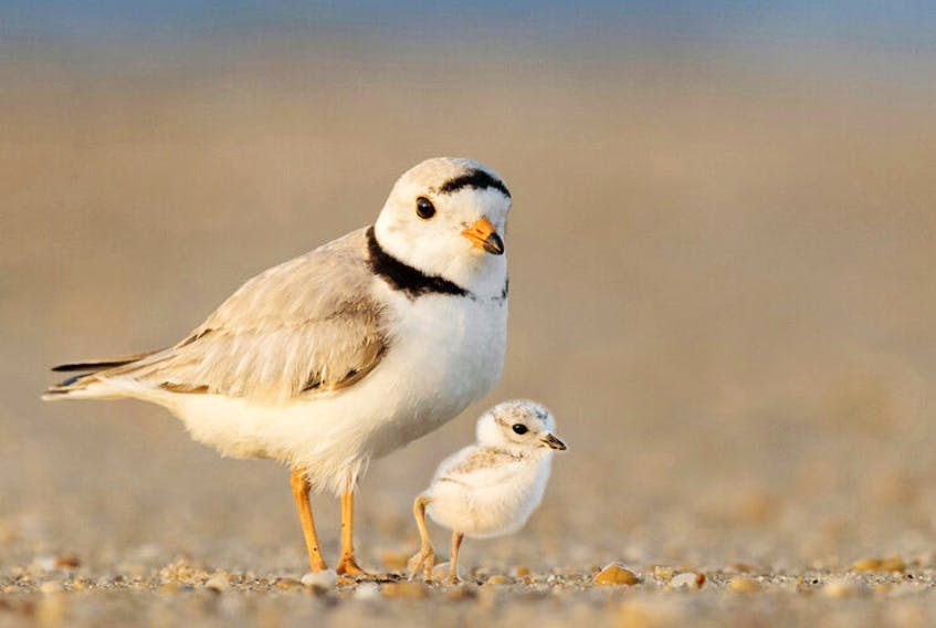 The Island Nature Trust said individuals set up a weekend campground in endangered piping plover habitat.
