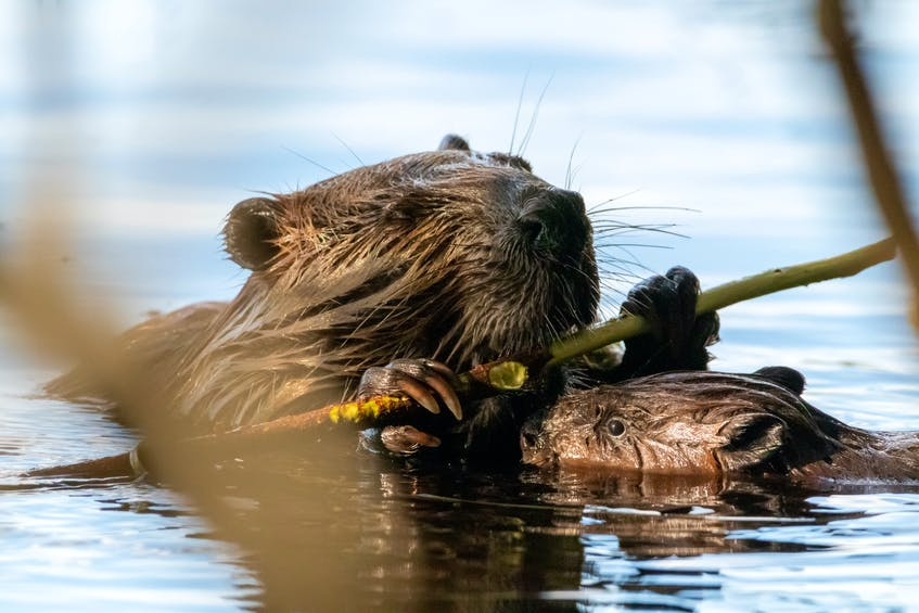A New Waterford woman said the beavers the pubic enjoyed so much along the Summit Recreational Trails in Scotchtown, are being live trapped and killed by a trapper, sanctioned by the Nova Scotia Department of Lands and Forestry. STOCK IMAGE