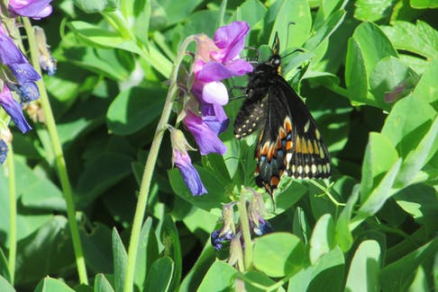 Jantje VanHouwelingen sent us this photo of what looks like an Eastern Black Swallowtail, on a beautiful sunny day at St. Vincent's beach, N.L. She saw the butterfly flitting around on the beach plants. She was there watching whales feeding for two hours, a very popular wonderful place to see humpbacks close to shore.