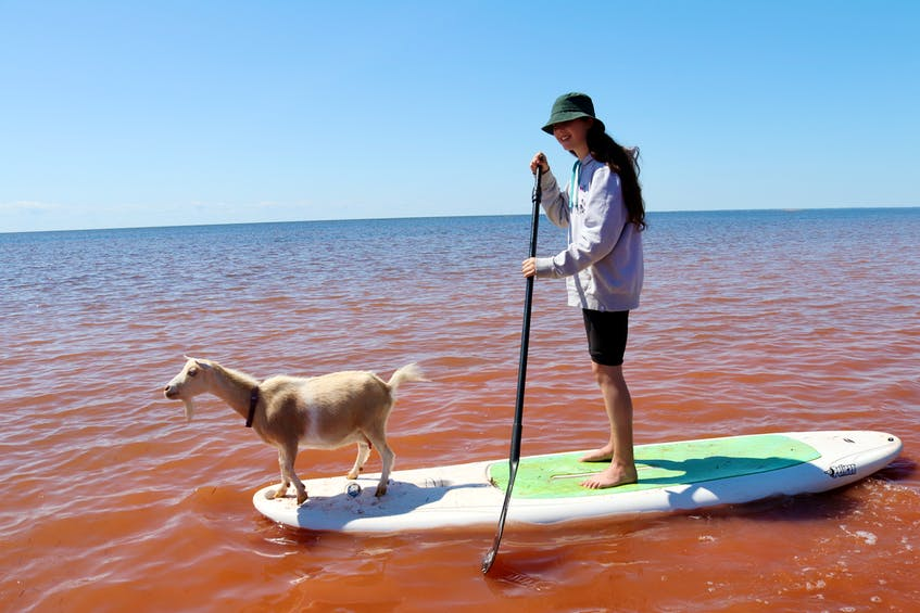 Lucy Barker, 12, gives a goat named Sadie a ride on the paddleboard. - Helen Earley - Saltwire network