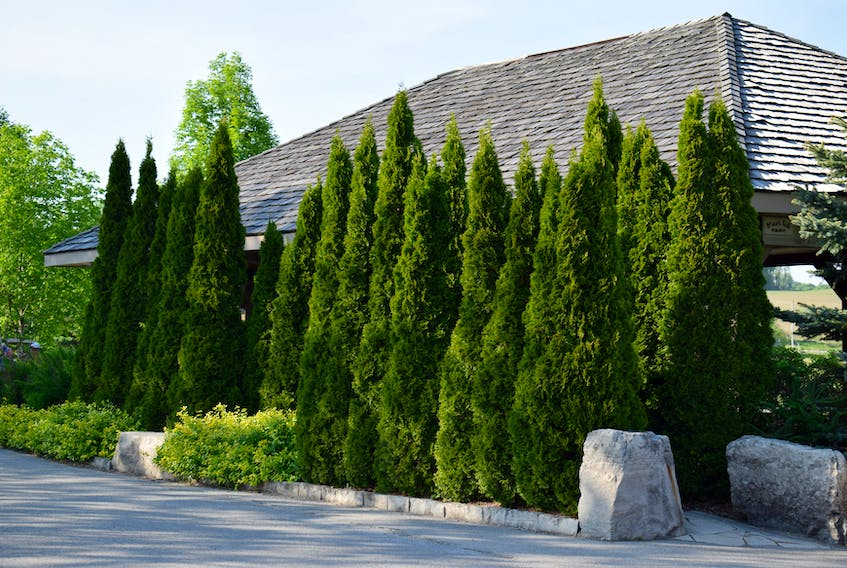 Emerald cedars, which were developed in Denmark a couple of generations ago, will never need pruning, provided they have adequate space.