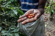 As a potential driver of coffee leaf rust — the world's most severe coffee plant disease — COVID-19 poses a threat to the coffee industry, according to a new Rutgers University-led study.