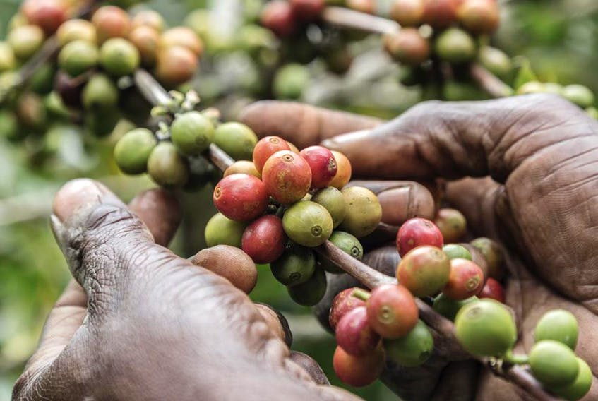 Coffee is one of the most widely traded agricultural commodities in the world, supporting the livelihoods of about 100 million people globally, especially in low income countries.