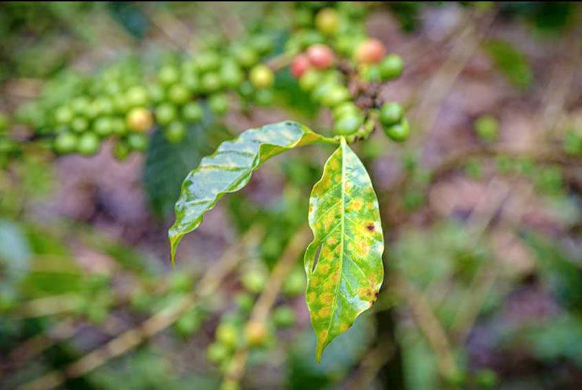 COVID-19's socio-economic effects will likely cause another severe production crisis in the coffee industry, according to a Rutgers University-led study.