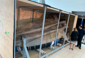 The skull of this blue whale, set to be displayed at Memorial University's new Core Science Facility, is 5.5-metres long.