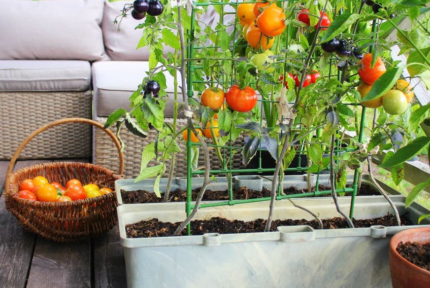 A variety of conditions can cause tomatoes to become distorted.