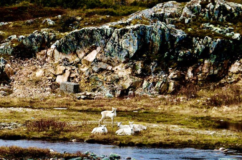 Fogo Island Caribou Project photo/Facebook - Facebook