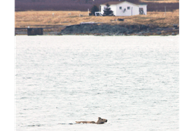 The sight of a swimming caribou near Fogo Island influenced a group of scientists into trying to find out why that happens. Those findings were recently released in an academic paper.
