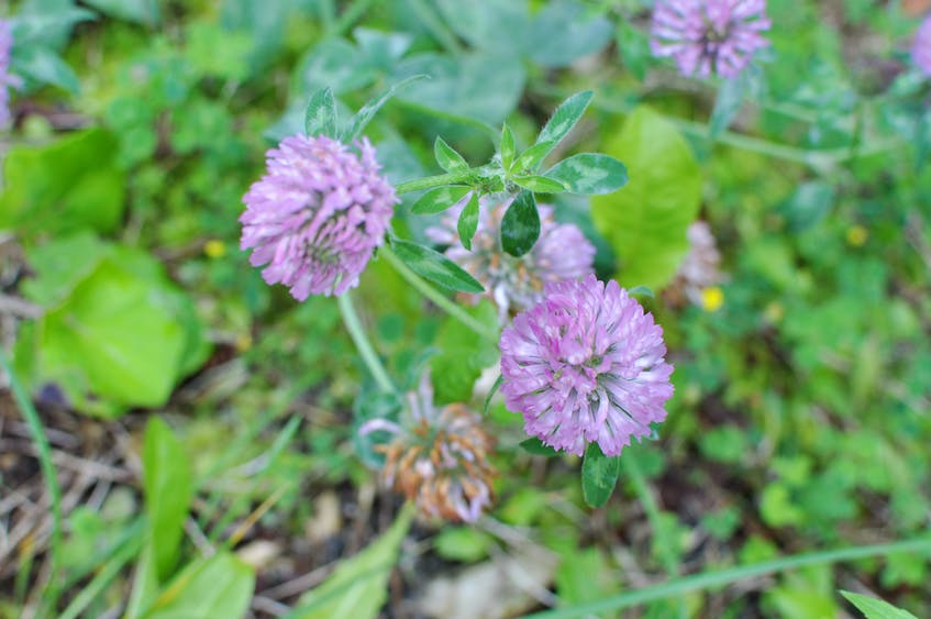 Red clover, known for its cooling effect, makes a nice iced tea.