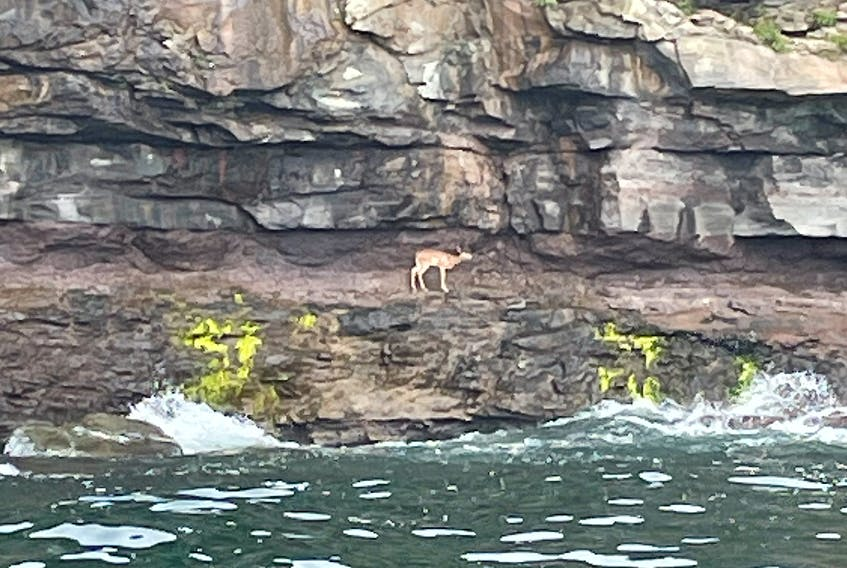 Nova Scotia Lands and Forestry, the Glace Bay Volunteer Fire Department and local fishermen responded to a stranded fawn at the bottom of a 100-foot cliff in Port Morien this week.
