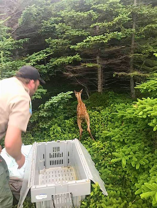 Wildlife officers with the Nova Scotia Department of Lands and Forestry released a fawn — rescued from the bottom of a 100-foot cliff in Port Morien Wednesday — into a wooded area near the top of the cliff where a doe and second fawn were spotted. Contributed • Nova Scotia Lands and Forestry