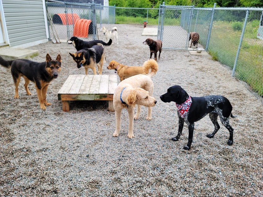 """Dogs enjoy playing at K9 Dog Daycare in Flatrock, NL. The business didn't see a slowdown during the pandemic, says owner Jonathan Noseworthy. """"I've seen more new clients coming from just word of mouth, from people that live around this area,"""