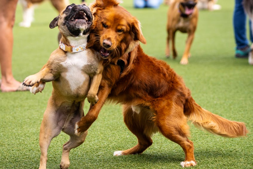 """As more people go back to working in offices, demand for dog daycares is increasing significantly for pets brought home during the pandemic. """"Dog daycare is growing, but everything with dogs is growing,"""" says Tristan Flynn, owner of Jollytails in Nova Scotia."""