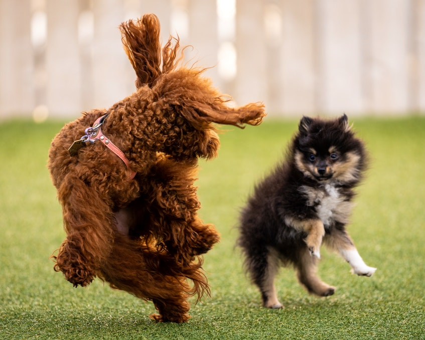 Jollytails owner Tristan Flynn says that more than just solving the short-term problem of an unattended dog destroying the house, doggy daycare helps pets stay engaged and keeps them happy and healthy. - Contributed