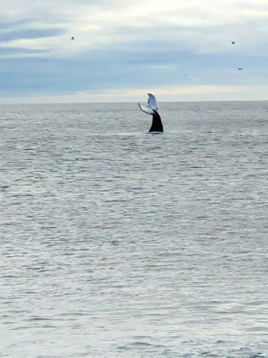 A whale dives for fish off the beach at St. Vincent's, NL. A sharp drop-off close to shore allows the whales to come very close to the beach. - Terry Lynn Slaunwhite photo - Saltwire network