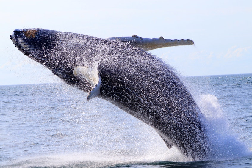 A baby humpback whale breaches by Mariner Cruises in the Bay of Fundy near an-Brier Island, N.S. - Amy Tudor photo - Saltwire network