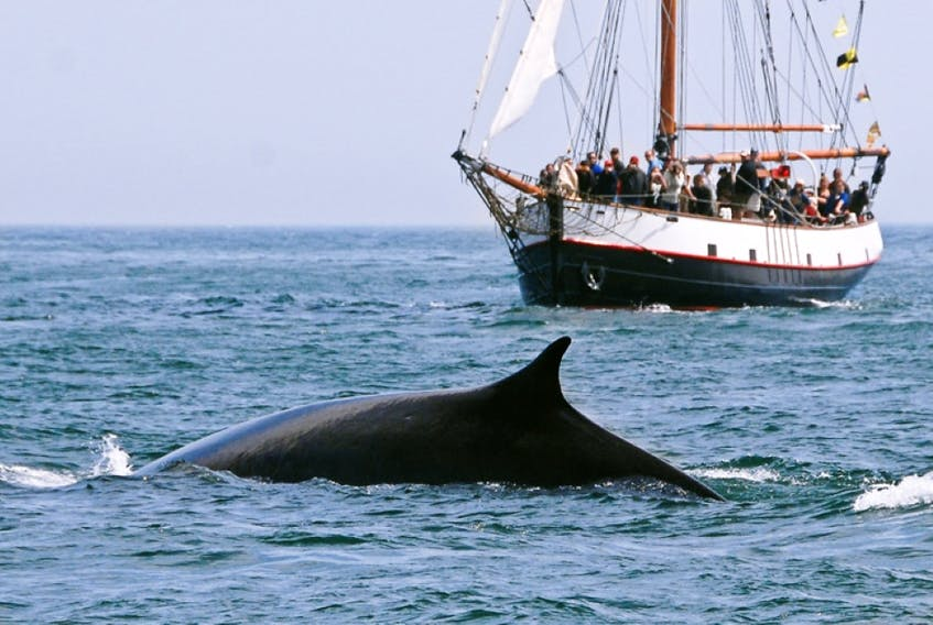 Not only can visitors see whales with Jolly Breeze Tall Ship Whale Adventures, they'll also have the chance to sail on a tall ship. - Jolly Breeze photo