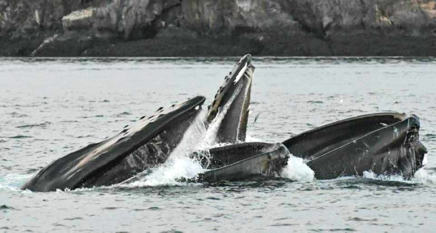 Whales spotted during a sailing with Jolly Breeze Tall Ship Whale Adventures in St. Andrews, N.B. - Jolly Breeze photo - Saltwire network