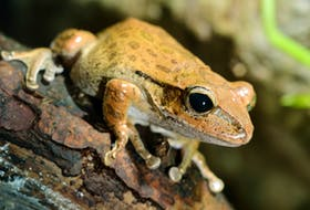 SaltWire host Sarah Poko isn't fond of frogs. But is her dislike of the amphibians rational or is it classified as a phobia? Sarah speaks with Dr. Stacy Bradley to find out in today's Poko Ponders podcast.