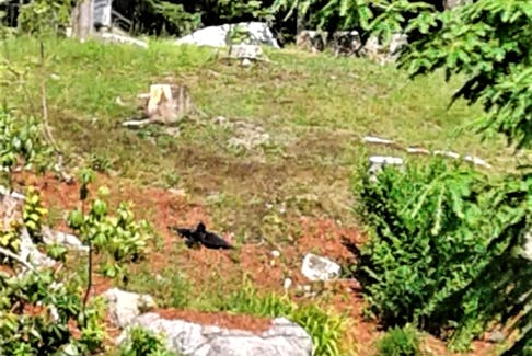 Barbara watched as the crow just lay there, motionless across the street from her home in Lakeside, N.S. Crows speak to the mystery of life. When we encounter crows or ravens, it's the perfect moment to contemplate the secrets life holds.