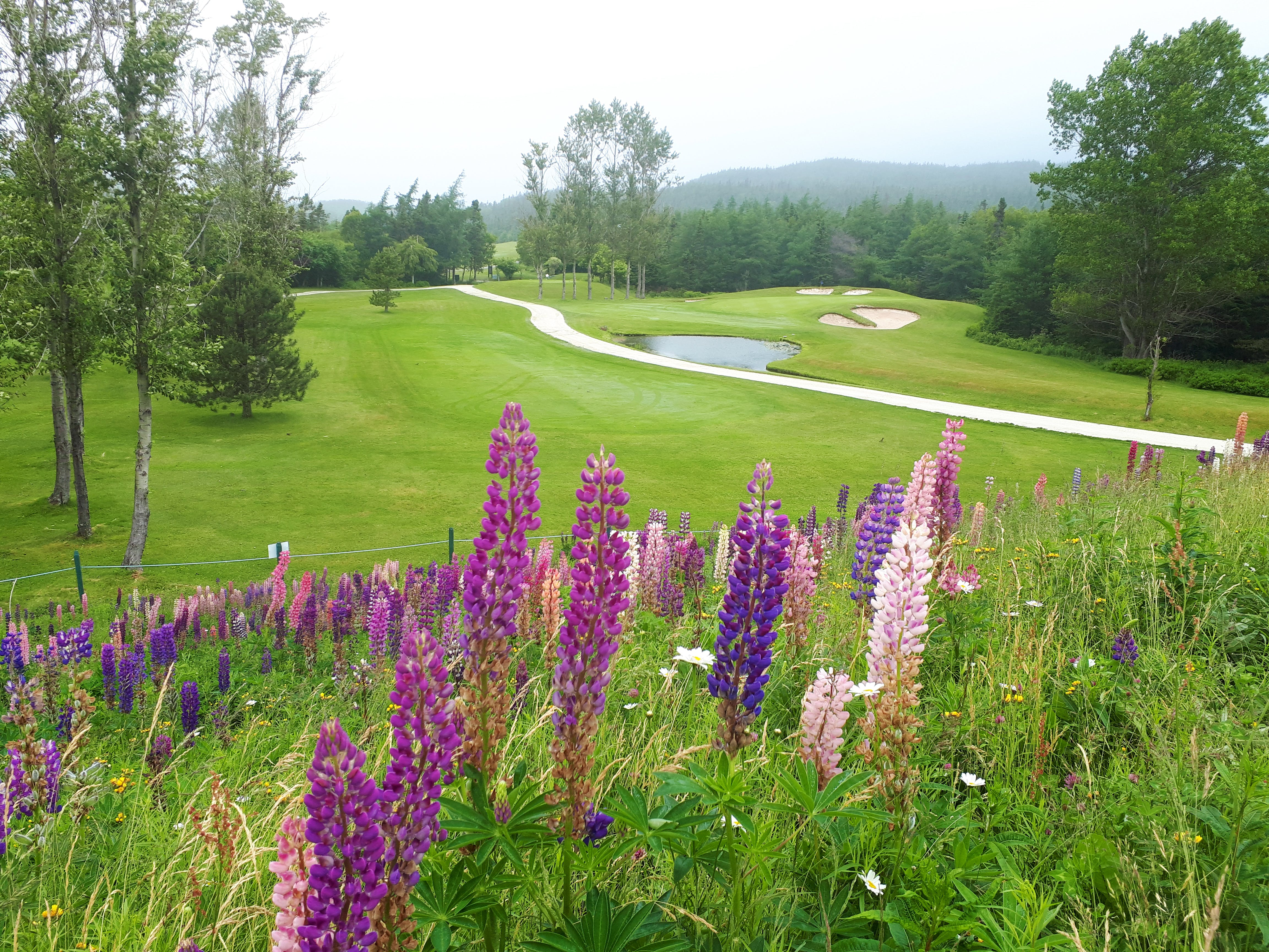You'll find these lovely lupins looking out over the #1 tee-off at The Willows in Holyrood, N.L.  Pat Walsh said it was a cloudy, misty morning for a round of golf.  I think the lupins are there to take the golfers' minds off that tricky-looking green, surrounded by sand and water.