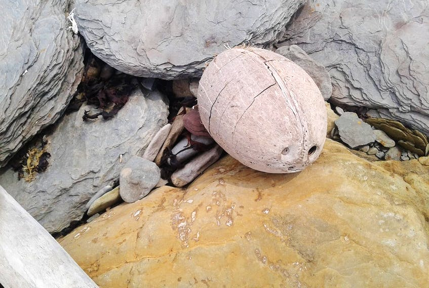 Don't let the coconut fool you; this photo was not taken in the Caribbean.  Robert MacDougall was beachcombing with his two young grandsons, visiting from P.E.I. when they came across this coconut washed up on the shore in Donkin, Cape Breton Island. Robert wonders if it's a sign that the Gulf Stream is moving closer!