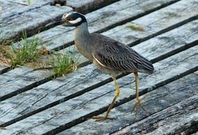 A yellow-crowned night-heron unaware of its celebrity status strolls across the slipway in Quidi Vidi village.
