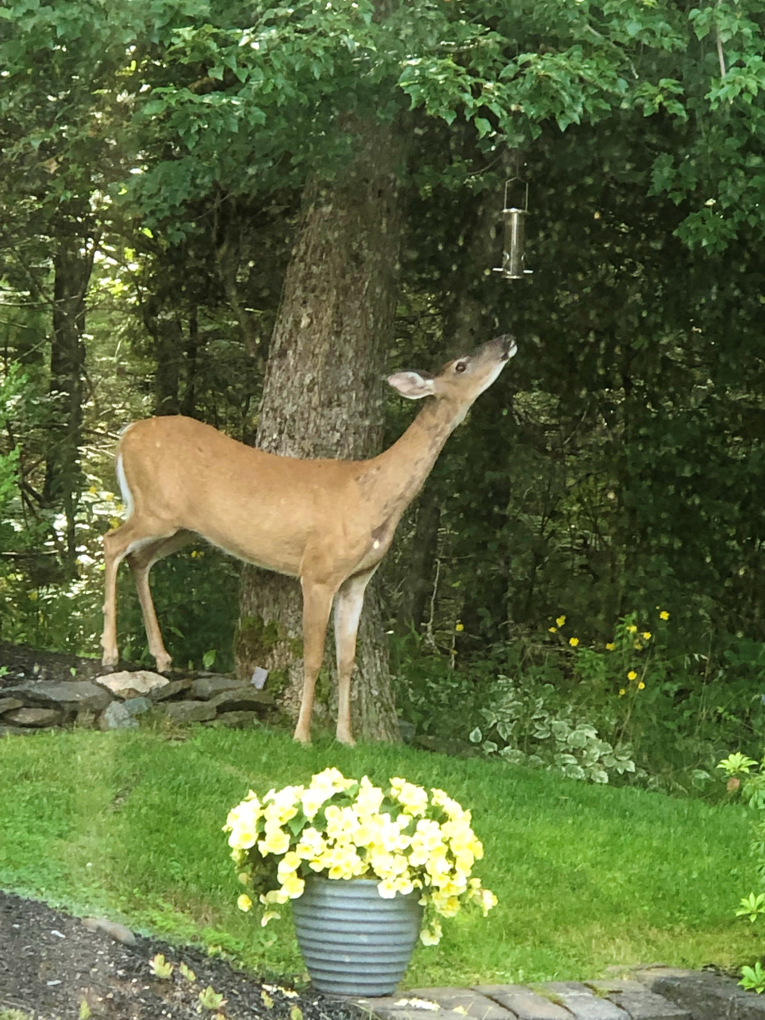 Bob St. Laurent snapped this photo of a visit from 'Bamby' in his Chester, N.S. backyard. The deer was attempting to raid his property's bird feeder. Normally, squirrels do, but Bob said it's the first time he has seen a deer make an attempt. Fortunately, for him, Bamby was unsuccessful.