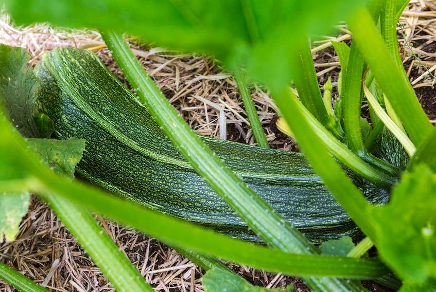Seemingly healthy zucchini plants can turn yellow for a variety of reasons.