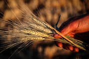 """""""It's going to be an interesting season because we're seeing lowered (wheat) production across major exporters globally,"""" says Daniel Ramage, Cereals Canada's director of market access and trade policy."""