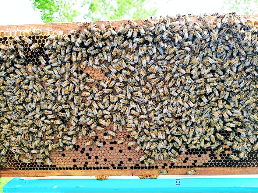 Bees are shownmaking honey in one of Dave MacPherson's langxtroth style beehives in Port Edward. Bees make the honey in frames, making them easy to move. MacPherson who has been beekeeping for a year now, has 22 hives. Contributed - Contributed