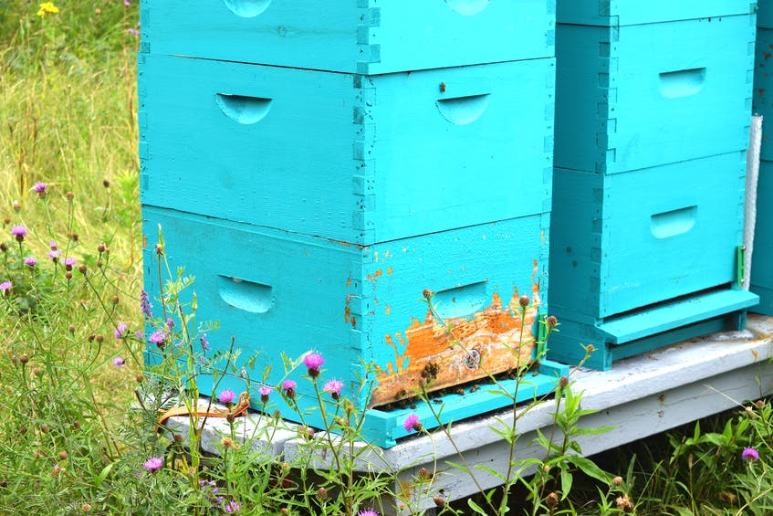 Guard bees are shown on the outside of some of Dave MacPherson's beehives in Point Edward. Sharon Montgomery-Dupe/Cape Breton Post - Sharon Montgomery