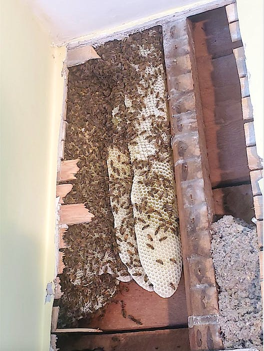 The beehive six feet high, 16 inches wide and six inches deep, recently located in a living room wall in a home in Glace Bay. Dave MacPherson, owner of The Queens Gold, Beekeeping and Honey, who removed the hive in a way to save the bees, said finding a hive inside walls is not an unusual discovery. Contributed - Contributed