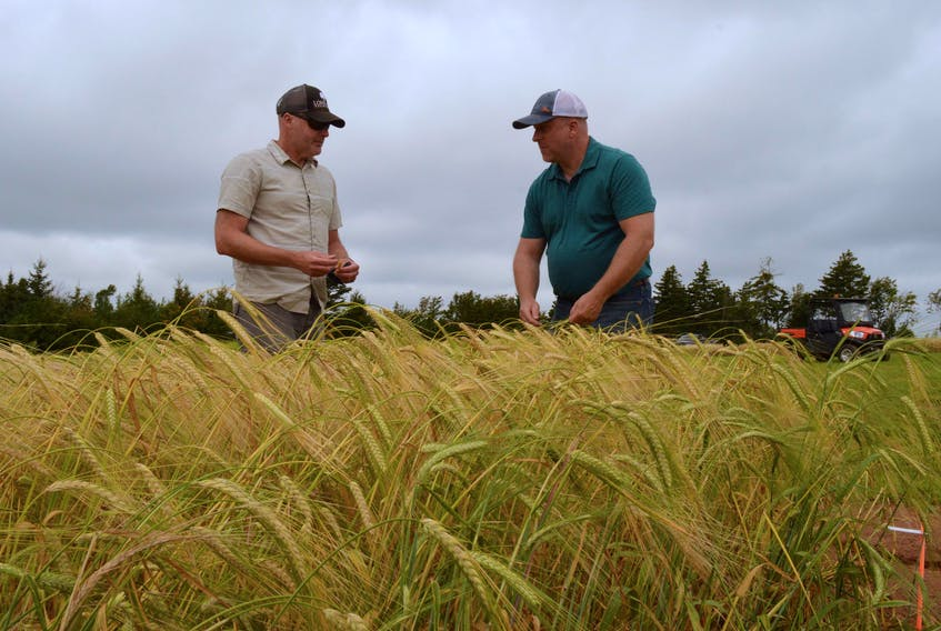 Agriculture and AgriFood Canada researcher Aaron Mills, left, discusses this year's barley crop with maltster John Webster of Shoreline Malting in Harrington, P.E.I. earlier in August. Alison Jenkins • Special to The Guardian
