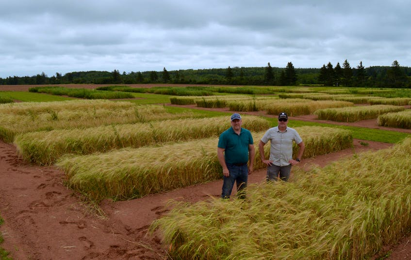 John Webster of Shoreline Malting, left, checks his barley with Agriculture and AgriFood Canada researcher Aaron Mills. The two have collaborated on a project in Prince Edward Island to find some different malt barley varieties for craft brewers. Alison Jenkins • Special to The Guardian - Alison Jenkins