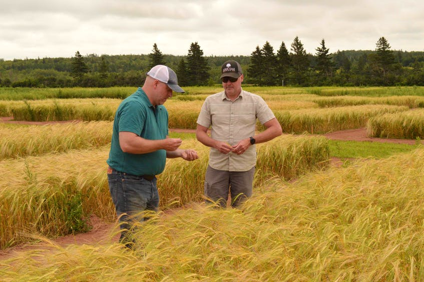 John Brewer of Shoreline Malting, left, takes a look at some malt barley with Agriculture and AgriFood Canada researcher Aaron Mills, in Harrington, P.E.I. Alison Jenkins • Special to The Guardian - Alison Jenkins