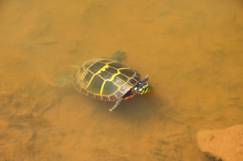 Spotting turtles is a regular occurrence at Pond View Park in Wolfville. KIRK STARRATT