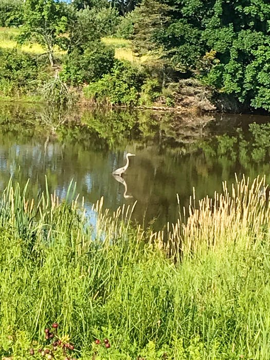 A great blue heron in the pond at Pond View Park in Wolfville. CONTRIBUTED