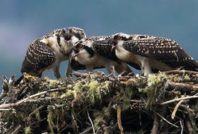 Three young osprey nearly ready to fledge spot a parent with a trout flying toward the nest to feed them.