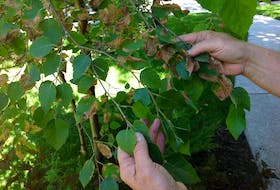 Birch trees have shallow roots and require plenty of water to stave off the harmful effects of the birch leafminer.