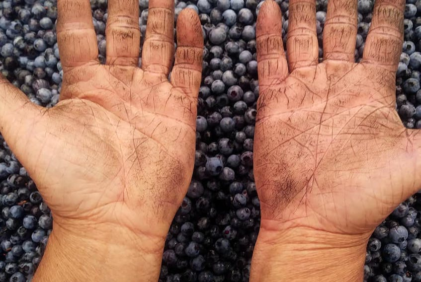 Blueberry producers have been working away in the heat to pick wild blueberries. This picture comes from hands at Red Mountain Farm outside Bass River, N.S.