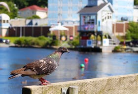 There will likely be more pigeons than pedestrians at the 2021 Royal St. John's Regatta. The City of St. John's is discouraging people from attending because of public health protocols put in place due to the COVID-19 pandemic.