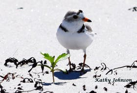 Shelburne County beaches are home to more than half the population of the endangered Piping Plovers that nest each year in the province. KATHY JOHNSON
