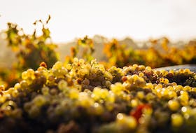 Organically grown grapes ready to be made into wine using natural methods.