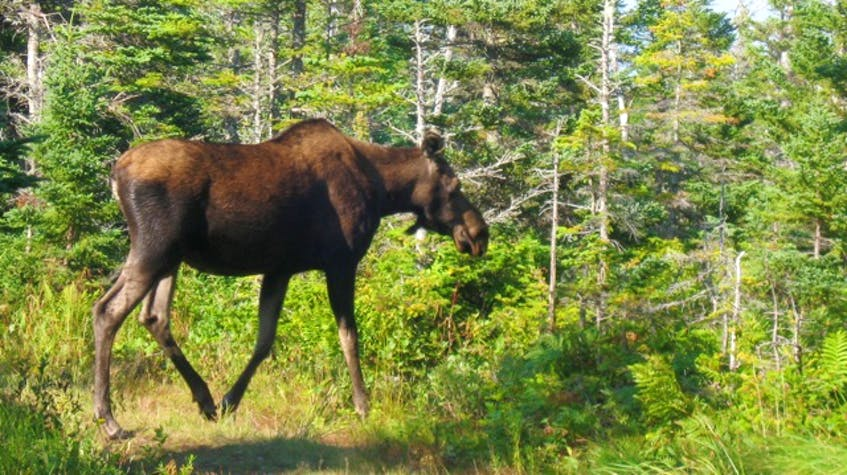 A moose at the top of Franey Mountain in 2014. Contributed • Paul MacDougall