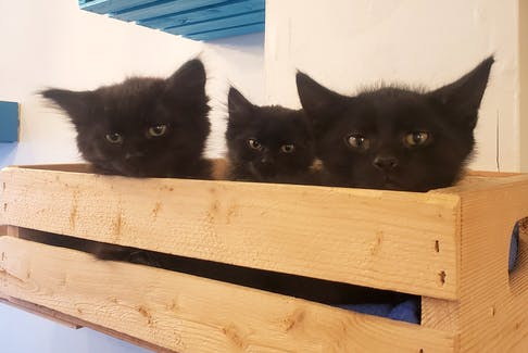 A trio of black kittens look down at customers at the Mad Catter Café in St. John's, NL. The café has many repeat customers who enjoy coming in to play with the cats.