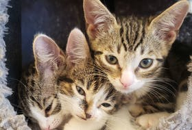 The Mad Catter Café in St. John's, N.L., has teamed up with the local SPCA to showcase cats that need homes while giving customers the opportunity to spend time with feline friends.