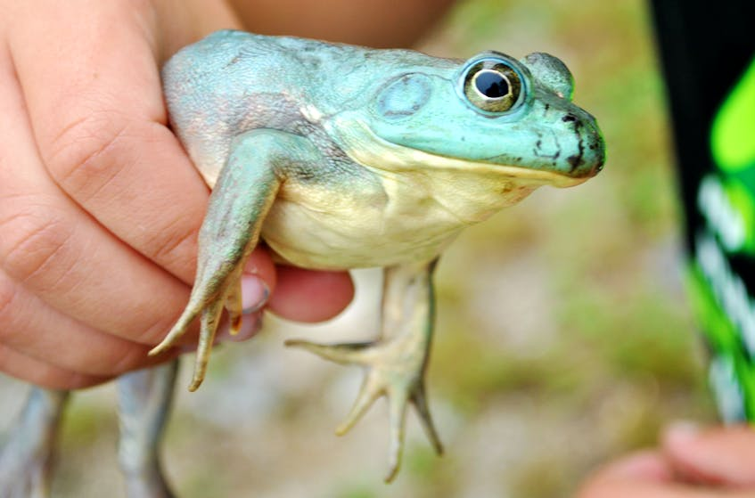 The rare blue/green frog found in Beaverdam Lake by four year old Jace Nickerson on Aug. 21. KATHY JOHNSON - Kathy Johnson